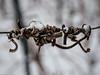 Verdreht und zugeschneit (J.Weyerhäuser) Tags: hechtsheim schnee weinberg reben ranken