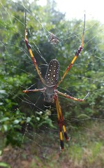 """Banana Spider"" - Golden Silk Orbweaver (tapaculo99) Tags: jamaica cockpitcountry invertebrate animal spider araneae orbweaver goldensilkorbweaver nephilaclavipes"