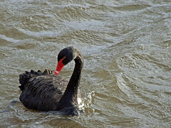 Black swan on River Exe (Philip_Goddard) Tags: nature naturalhistory animals vertebrates birds anatidae cygnus swans cygnusatratus blackswan europe unitedkingdom britain british britishisles greatbritain uk england southwestengland devon exeter riversidevalleypark riverexe river citybasin