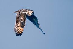 Hibou des marais. Asio flammeus. (christophe_r@yahoo.com) Tags: 7dmarkii canon sigma 150600 hiboux des marais asio flammeus owls
