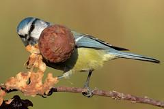La Cinciarella fa cucù (Polpi68) Tags: cinciarella bird birds nature