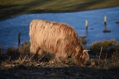 Hochlandrind (thomas druyen) Tags: hochlandrinder weezewemb gras tier wasser see heeserschläge abgrabung natur niederrhein erholungsgebiet