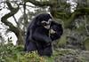 Bear Hug (Elaine 55.) Tags: bear cub chesterzoo spectacledbears