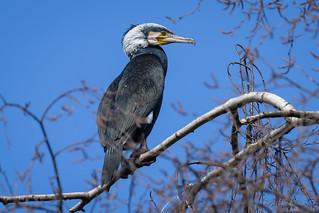 Kormoran (Phalacrocorax carbo) im Brutgefieder, hoch oben in einer Birke