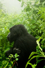 IMG_6499a (photoa99) Tags: rwanda africa volcanoes national park cloud forest gorilla silverback endangered trekking female mountain primates primate eastern