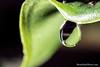 dew in the limonaia (Brian M Hale) Tags: dew macro yongnuo twin flash speedlite speedlight dual water drop plant leaf closeup close up limonaia tower hill botanic botanical garden boylston ma mass massachusetts brian hale brianhalephoto canon 65mm reflection refraction