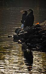 I Spy... (MrBlueSky*) Tags: cormorant bird waterfowl nature wildlife water colour kewgardens royalbotanicgardens london pentax pentaxart pentaxlife pentaxk1 pentaxawards pentaxflickraward aficionados