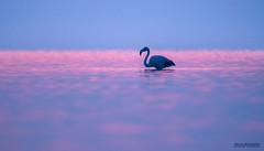 Flamingo (Artur Rydzewski) Tags: flamingo flaming bird pinkbird bigbird sunrise sunset nature water violet pink