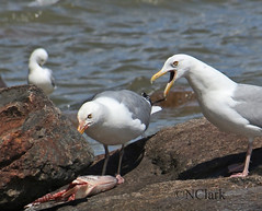 Get your own (N.Clark) Tags: herringgulllarusargentatus gullswithfish lakewinnipeg manitobabirds waterfowl getyourown