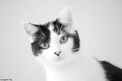 A meow (gusdiaz) Tags: closeup blackandwhite bw blancoynegro byn gato mascota retrato animal canon canonphotography 60mm