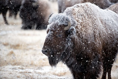 A Harsh Winter (Theodore A. Stark) Tags: ifttt 500px 2018 rocky mountain arsenal national wildlife refuge snow animals canon morning usa male colorado planes co stark adams county outdoors wild tstarkcom ted theodore a january mature gps american bison