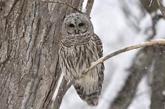 Flurries (hd.niel) Tags: barredowl owls nature wildlife photography ontario