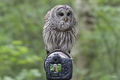 Barred Owl / Chouette rayée (shimmer5641) Tags: strixvaria chouetterayée barredowl barredowlonperch barredowloncamera raptor northernbarredowl hootowl birdofbritishcolumbia birdofnorthamerica