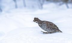 Hazel Grouse on snow (george.julin) Tags: tetrastesbonasia bonasabonasia