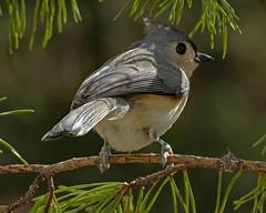 Tufted Titmouse_5Feb2018 (Bob Vuxinic) Tags: bird cumberlandplateau crossvilletn 5feb2018 tuftedtitmouse baeolophusbicolor pinetree