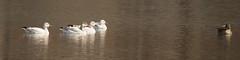 Greater White-fronted Goose (ccbird1) Tags: gwfg goose oo lakes kolgans