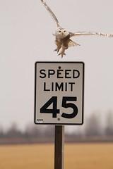 I'm outta here (Laura Rowan) Tags: snowyowl owl winter freedomwi bird birding cropped raptor