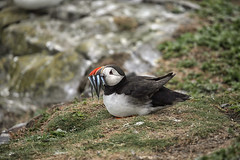 Puffin, Farne Island (crafty1tutu (Ann)) Tags: travel holiday 2017 unitedkingdom uk england northumberland farneislands animal bird puffin sandeels rocks crafty1tutu canon5dmkiii ef100400mmf4556lisiiusm anncameron naturethroughthelens