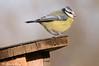 Cinciarella _012 (Rolando CRINITI) Tags: cinciarella uccelli uccello birds ornitologia tricerro natura