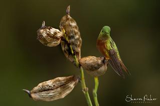 Chestnut-Breasted Coronet Hummingbird