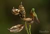 Chestnut-Breasted Coronet Hummingbird (Sharon's Nature) Tags: andes bird wildlife canon ecuador hummingbird boissonneauamatthewsii chestnutbreastedcoronet throughherlens