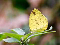 Common Grass Yellow (chaz jackson) Tags: commongrassyellow euremahecabe pieridae coliadinae butterfly insect nature vietnam