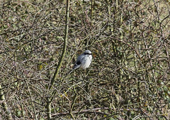Great Grey Shrike Lanius excubitor 009-1 (cwoodend..........Thanks) Tags: greatgreyshrike greyshrike shrike laniusexcubitor thebutcher butcher wildlife gloucestershire laniidae butchersentinel hawling