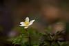 Gelo polare in arrivo (Raffaella T.) Tags: flower green nature white grass field anemone macro bokeh