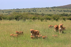 La troupe de lionnes et leurs petits (Kaïyah) Tags: lion lioness cubs troup social group landscape mammal predator grass plain masaïmara kenya