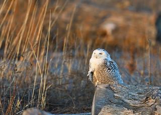 Snowy Owl Last Good Light