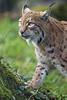 Lynx next to the tree (Tambako the Jaguar) Tags: lynx big wild cat profile portrait standing tree grass vegetation tierparkgoldau zoo switzerland nikon d5