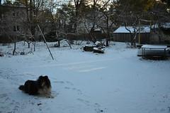 Must koer valgel lumel (anuwintschalek) Tags: nikond7000 d7k 18140vr eesti estland estonia talv winter january 2018 tallinn pääsküla aed garden garten nõmme koer hund dog kolli collie jõmmu black must schwarz lumi schnee snow jäljed spuren
