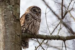 Barred Owl (grobinette) Tags: barredowl owl raptor huntleymeadowspark huntleymeadows