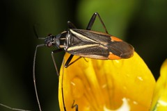 Hadrodemus m-flavum (chug14) Tags: unlimitedphotos animalia punaise hexapoda insecta hemiptera heteroptera macro insect insecte miridae mirinae mirini arthropoda cimexmflavum hadrodemusmflavum