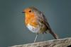 087-Edit.jpg (Kico Lopez) Tags: miño petirrojo spain feeder galicia birds rio aves erithacusrubecula lugo