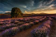 Lavender Glow (Maciek Gornisiewicz) Tags: bridestowe lavender tasmania landscape rural farm estate sunset evening nature plants clouds travel australia canon nisi 1635mm 5div maciek gornisiewicz darkelf photography lavenderglow 2018 fields