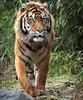 sumatran tiger Emas Blijdorp BB2A2971 (j.a.kok) Tags: tijger tiger emas sumatraansetijger sumatrantiger mammal animal blijdorp kat cat zoogdier dier predator asia azie sumatra pantheratigrissumatrae
