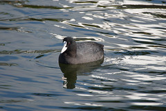 Coot (hawaza) Tags: bird birds duck ducks coot water lake riaformosa algarve portugal