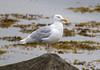 Glaucous gull / Hvítmáfur (Larus hyperboreus) (thorrisig) Tags: 30082017 dýr fuglar glaucousgull hvítmáfur hvítmávur larushyperboreus máfar mávar birds bird dorres animals sigurgeirsson sigurgeirssonþorfinnur iceland ísland island icelandicbirds íslenskirfuglar thorrisig thorfinnursigurgeirsson thorri þorrisig thorfinnur þorfinnur þorri þorfinnursigurgeirsson gulls seagulls