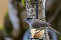Fauvette à tête noire (mâle) au nourrissage (sfrancois73) Tags: oiseau faune fauvetteàtêtenoire jardin