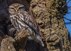 Little Owl ( Athene noctua ) (Dale Ayres) Tags: little owl athene noctua bird nature wilde life