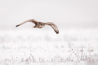 Saker falcon / Sakervalk