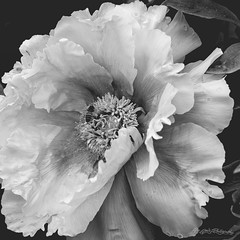 Drawn In (ProPeak Photography) Tags: america bw bee famousplace fauna flora flower garden hershey hersheygardens insects macro monochrome northamerica pennsylvania peony places spring touristattraction traveldestination travelandtourism usa unitedstates
