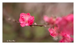 SHF_3308__Peach blossom