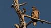 Immature Bald Eagle (keaton_vanderploeg) Tags: birds raptors eagles bald eagle wildlife animals arizona flagstaff nature