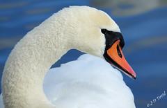 Je t'ai à l'œil Jeanda ! (jean-daniel david) Tags: oiseau oiseaudeau cygne bleu blanc noir orange eau lac lacdeneuchâtel yverdonlesbains lathièle profil œil
