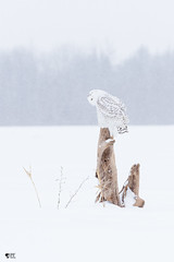 ''Pensive!'' Harfang des neiges-snowy owl (pascaleforest) Tags: neige snoe winter hiver owl hibou oiseau bird animal passion nikon nature wild wildlife faune québec canada ambiance wwwpascaleforestphotoscom arbre wood blanc white