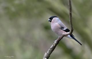 Bullfinch-Pyrrhula pyrrhula.