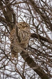 Sleepy Barred Owl