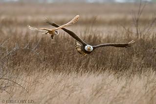 Barn Owl, Vole and Bald Eagle